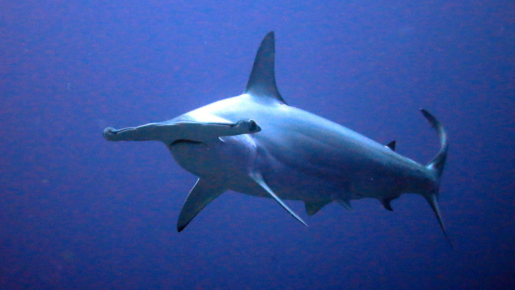 hammerhead shark diving costa rica