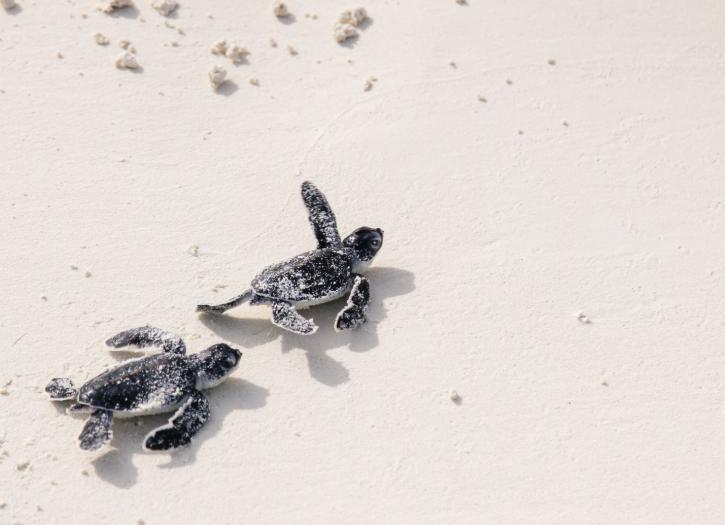 turtle nesting at kanuhura island hotel maldives